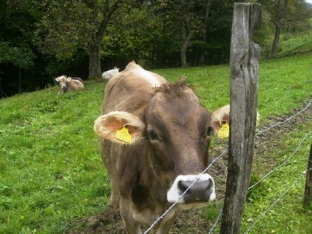 Der neueste Haartrend bei Kühen - wurde auch schon bei manchem Jugendlichen gesichtet